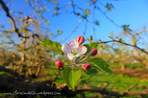 Apple Blossom Solo - Soergel Orchards - Wexford, PA